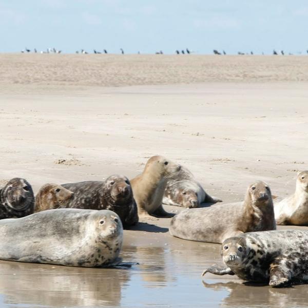 zeehonden-spotten-westcord-hotels-vlieland